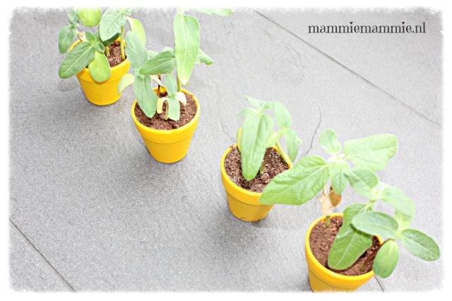 Zonnebloemen kweken